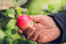 Man Hand Pick Red Apple From A...