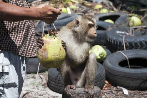 Foto op Plexiglas Aap Affe als dressierter Erntehelfer für Kokosnüsse