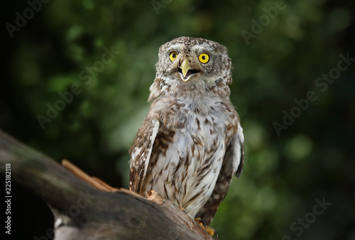 Keuken foto achterwand Uil Beautiful little owl in the forest