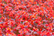 A Field Of Red Begonia Flowers As Background, Texture (shallow Depth Of Field, Copy Space)