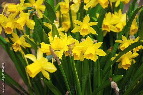 Yellow flowers of daffodils blossom on the flowerbed in the garden spring time and daylight