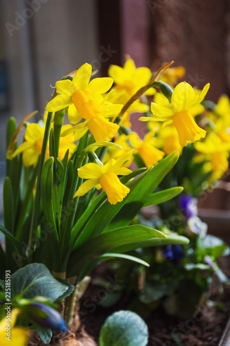 Deurstickers Narcis Yellow flowers of daffodils blossom on the flowerbed in the garden spring time and dayligh