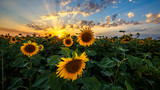 Fototapeta Nature - Summer landscape: beauty sunset over sunflowers field