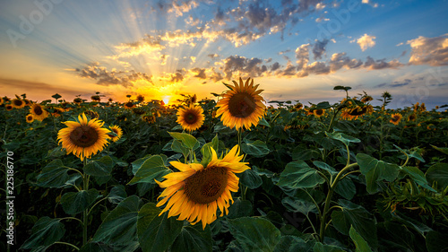 Spoed Foto op Canvas Zonnebloem Summer landscape: beauty sunset over sunflowers field