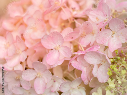 White and pink hydrangea flowers tender romantic floral background