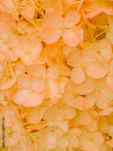 Foto op Plexiglas Hydrangea Gold and red autumn hydrangea flowers tender romantic floral background.