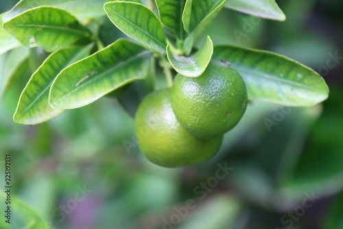 green limes hanging on the tree