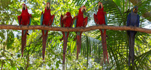 Colorful Macaw Parrots In The Aviary