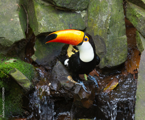 toucan toco sitting on a stone by the stream