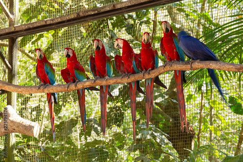 Cuadros en Lienzo Colorful macaw parrots in the aviary