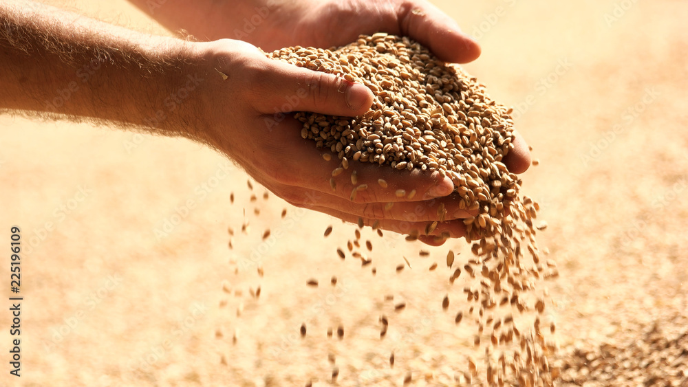 Fototapety, obrazy: Wheat grains in hands at mill storage. Close up. Good harvest in the hands of farmers, big pile of grain.