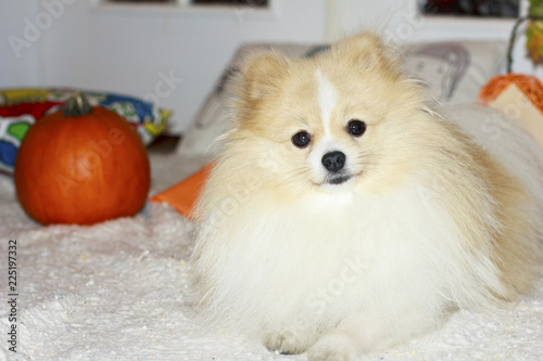 Pumpkin And Fluffy Dog Pomeranian Buy This Stock Photo And Explore