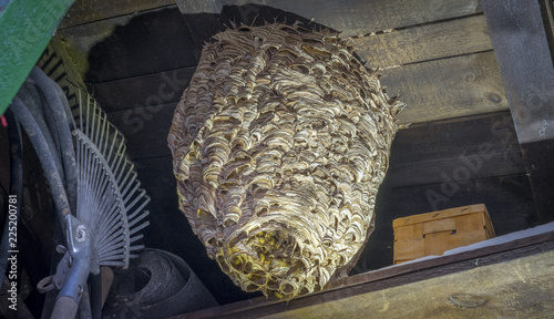 Fotografie, Tablou  huge hornets nest  Vespa crabro, with a population of about 1000 animals