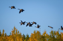 Geese Flying Over Orange Trees