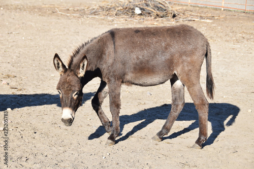 an adult donkey in the yard...