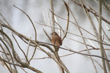 A Song Sparrow Perched On A Branch