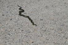 A Garter Snake On A Fine Grave...