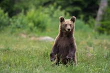Wild Carpathian Brown Bear Cub...