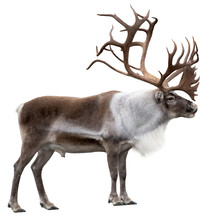 Reindeer With Huge Antlers  Is...