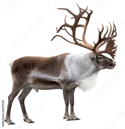 Canvastavla  Reindeer with huge antlers  isolated on the white background - side view
