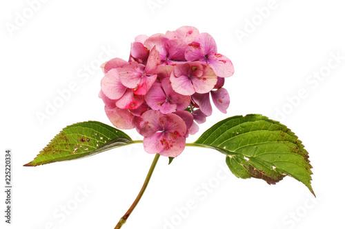 Wilting hydrangea flower