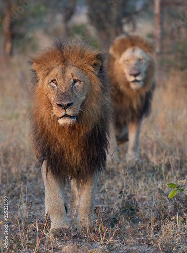 Staande foto Leeuw Lion brothers stands together watching hyenas in the distance - captured in the Greater Kruger National Park