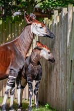 Baby Okapi With Her Mum