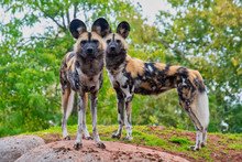 Two Painted Dogs Standong On A...
