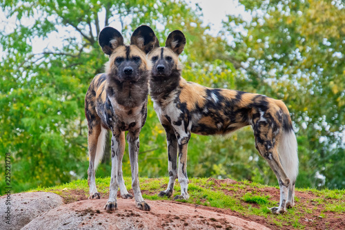 Fotografia Two painted dogs standong on a mound