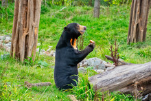 Sun Bear Standing On Its Back ...