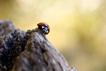Ladybug - Coccinella Septempunctata Is A Beneficial Red Little Beetle.