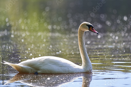Staande foto Zwaan White mute swan swimming on the lake during the sunny summer day, beautiful example of the big birds, nature in Czech Republic.