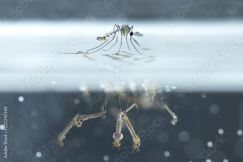 Mosquito larvae in underwater.
