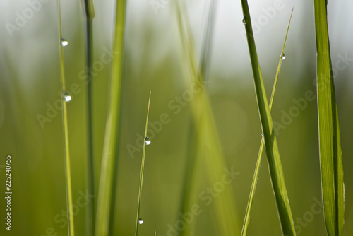 Grass with Water droplets #225240755
