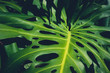 canvas print picture Monstera Philodendron leaves - tropical forest plant