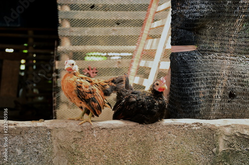Foto op Canvas Kip Cute and beautiful of dwarf chicken in the farm