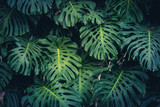 Fototapeta  - Monstera Philodendron leaves - tropical forest plant