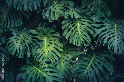 Poster Plant Monstera Philodendron leaves - tropical forest plant