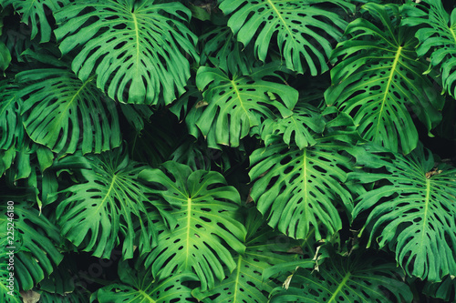 monstera-filodendron-odchodzi-wzor-rosliny