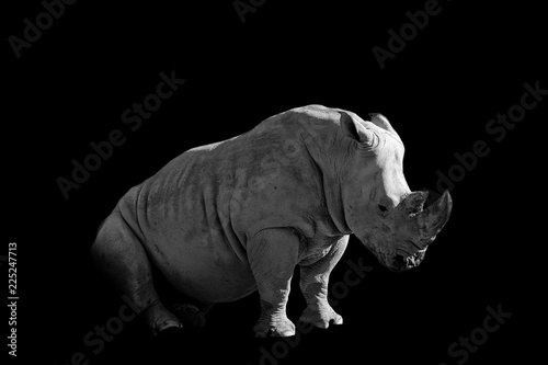 tired rhinoceros  isolated on black background