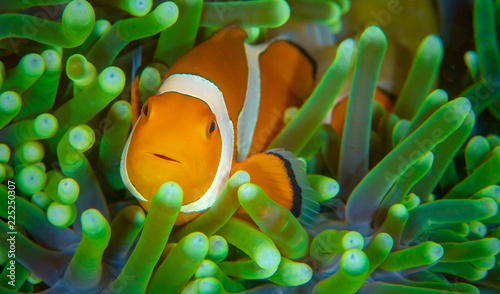Anenome Clown Fish Fototapet
