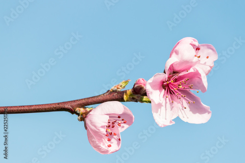 closeup of pink peach tree flowers against blue sky with copy space