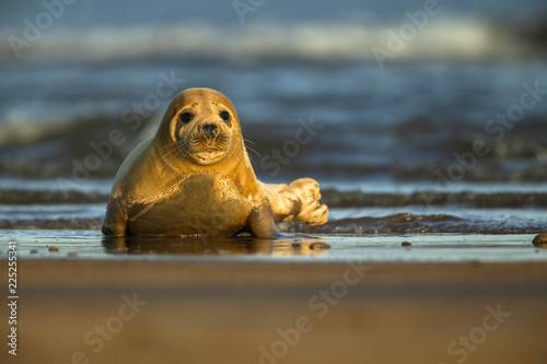 Photo  Common seal, North Sea, UK