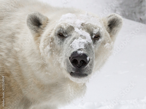 Spoed Foto op Canvas Ijsbeer Polar Bear Portrait