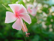 Beautiful Pink Hibiscus Flowers In A Tropical Garden
