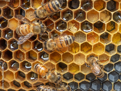 Honey Bees on Comb with Foundation Canvas Print