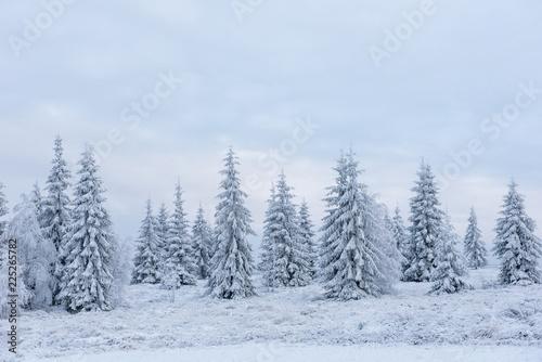 Fotobehang Lavendel Winter pine trees, Christmas concept