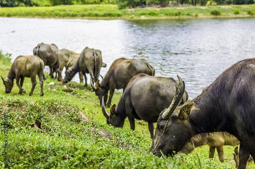 Staande foto Buffel Buffalo walk eating grass in field. Buffalo portrait. Asian buffalo in farm in thailand .Close up