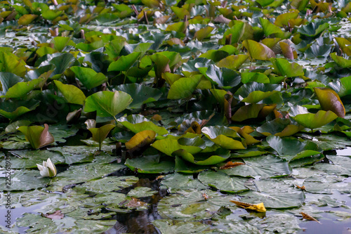 In de dag Waterlelies many water lilies on the surface of the water of a local pond