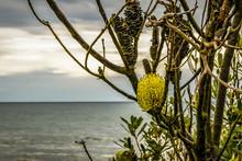 Golden Wattle Growing Wild At ...